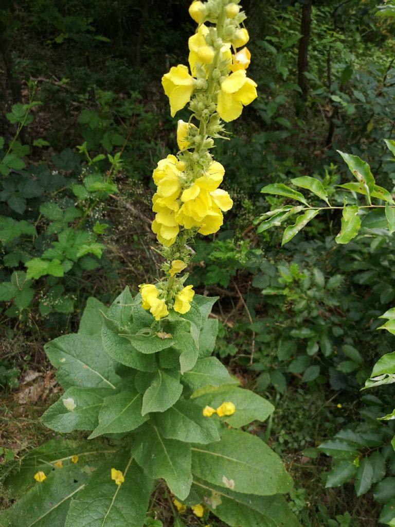 Die Königskerze mit ihrer gelben Blüten