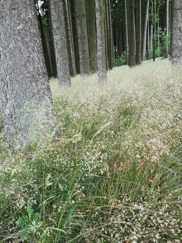 Zittergras wiegt sich im Wald