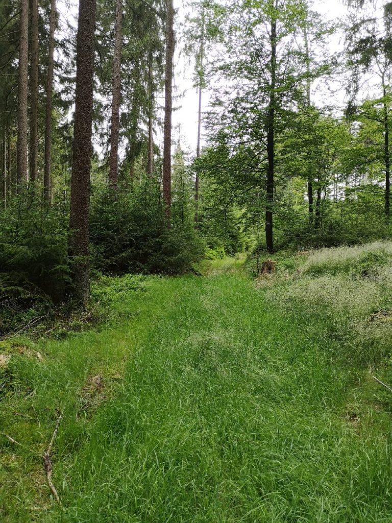 Mit Gras bewachsener Waldweg führt hinein in den seltenen Mischwald