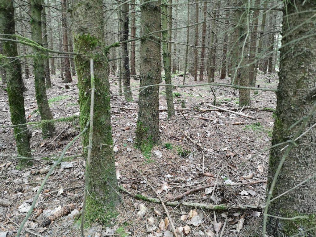 Baumsterben durch Monokultur im Frankenwald