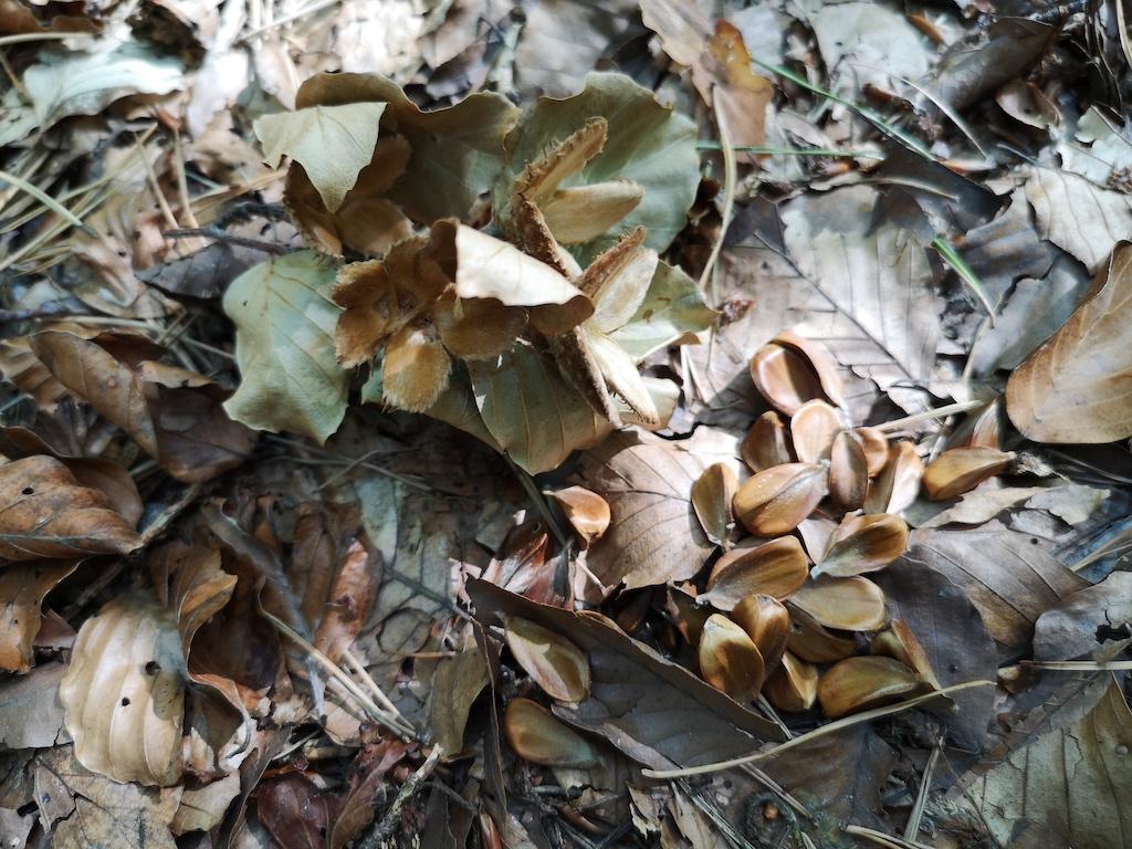 Buchecker bedecken den Waldboden