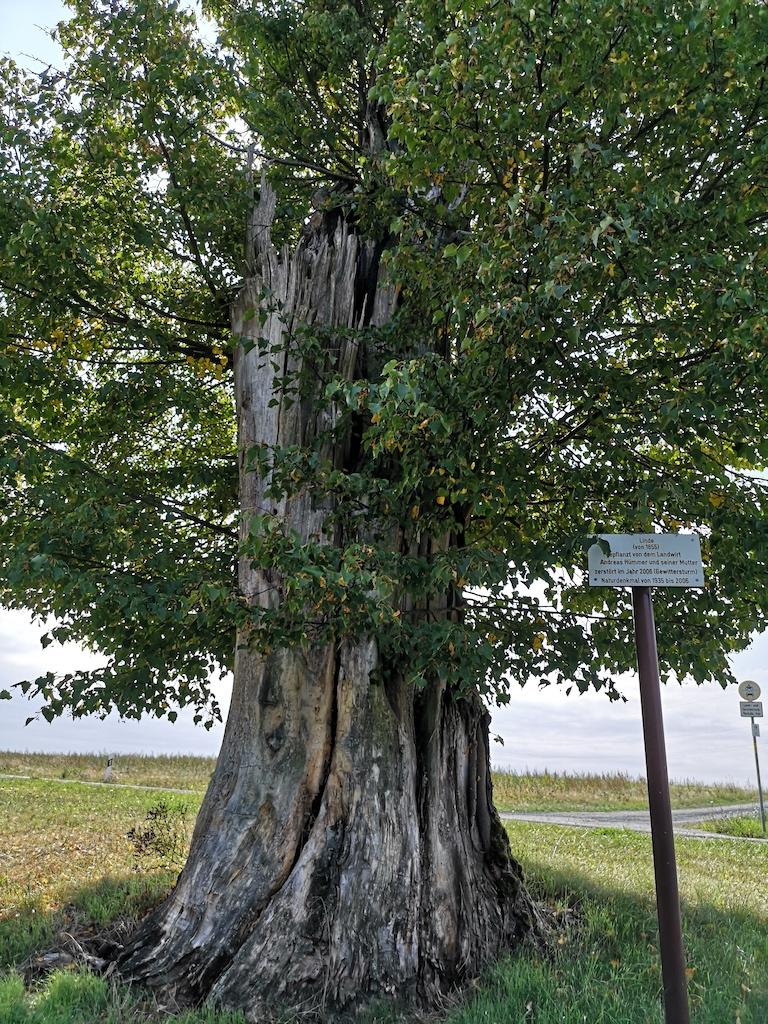 Naturdenkmal Lind