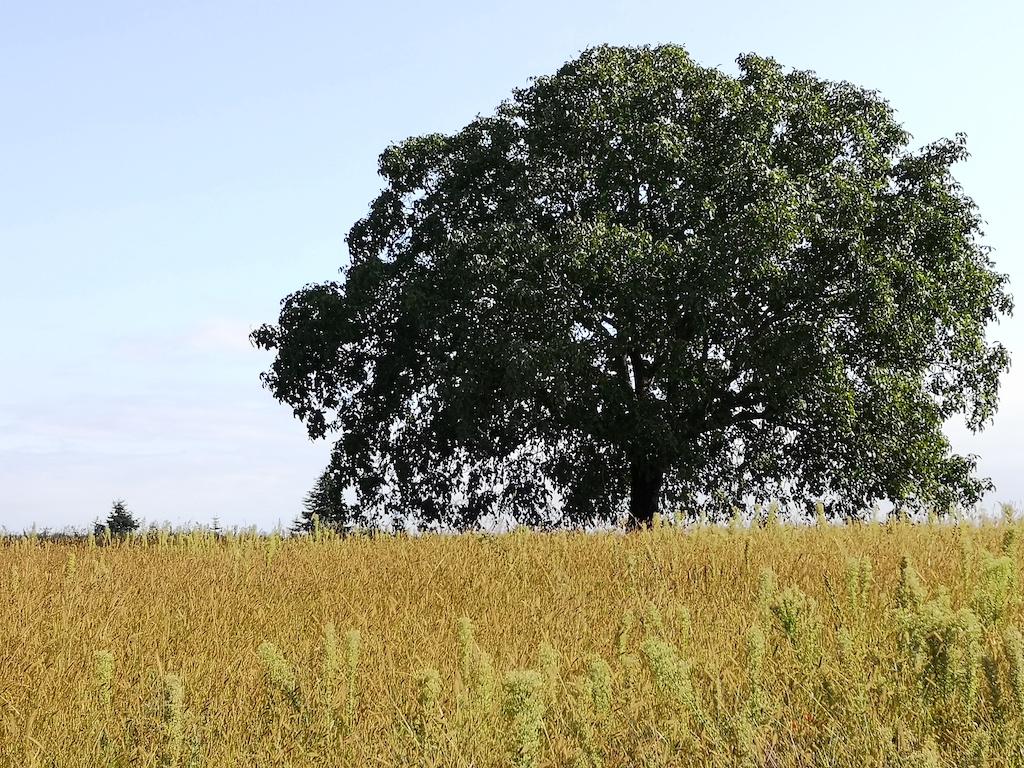 Wallnussbaum am Wegrand