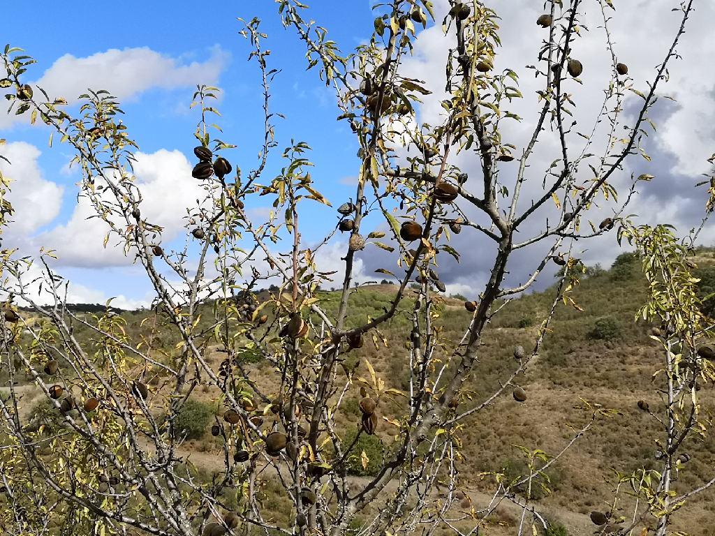 Wilde Mandelbäume
