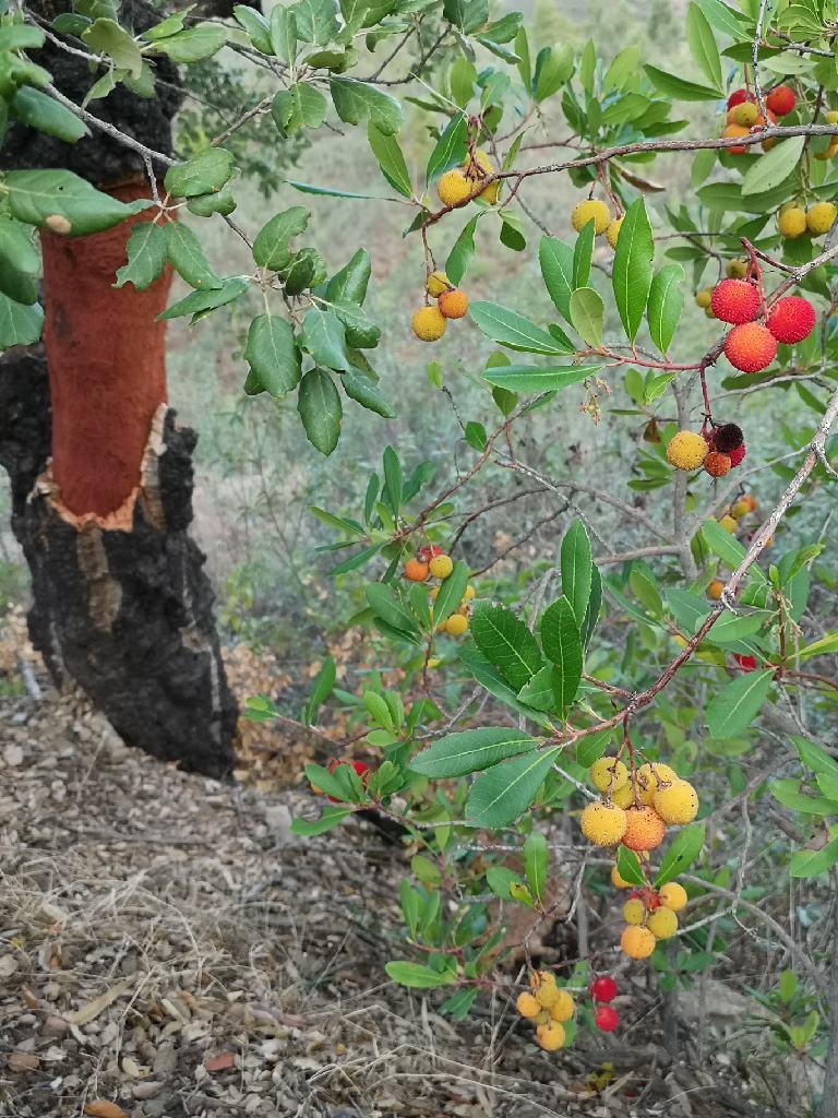 Erdbeerbaum bei Korkeiche