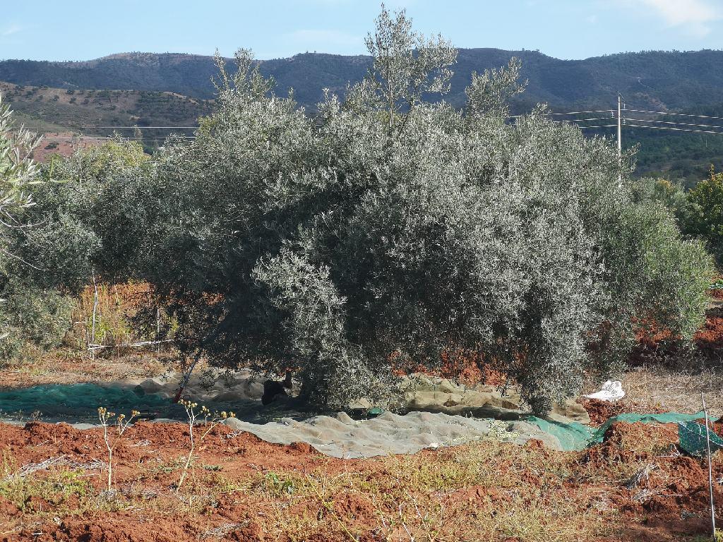 Olivenernte vor Salir