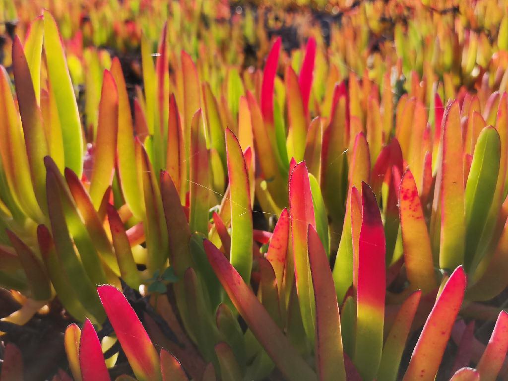 Sukkulente Pflanzen, die Hottentottenfeige, an der Küste Rota Vicentina