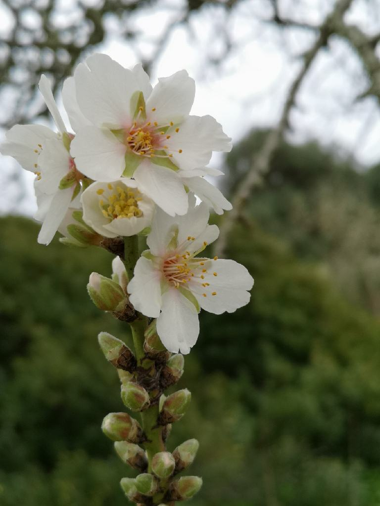Mandelblüte am Anfang des Jahres