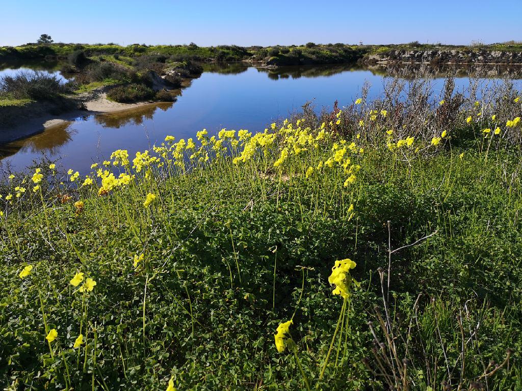Gelb blühende Blumen im Ria Formosa