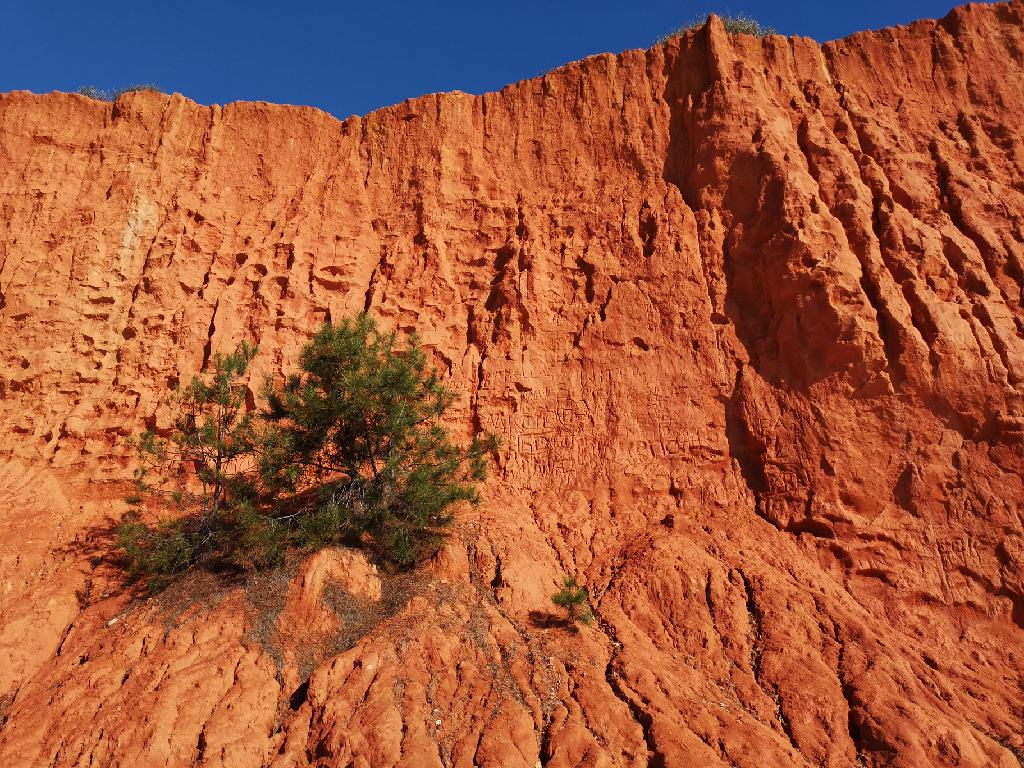 Kiefer am roten Felsen
