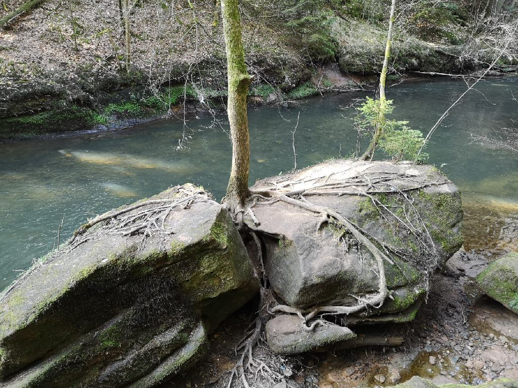 Baumwurzeln auf dem Stein an der Schwarzach
