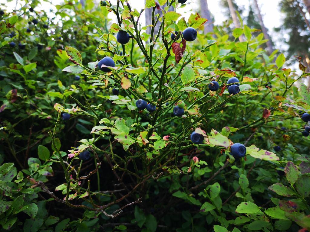 Heidelbeerbusch