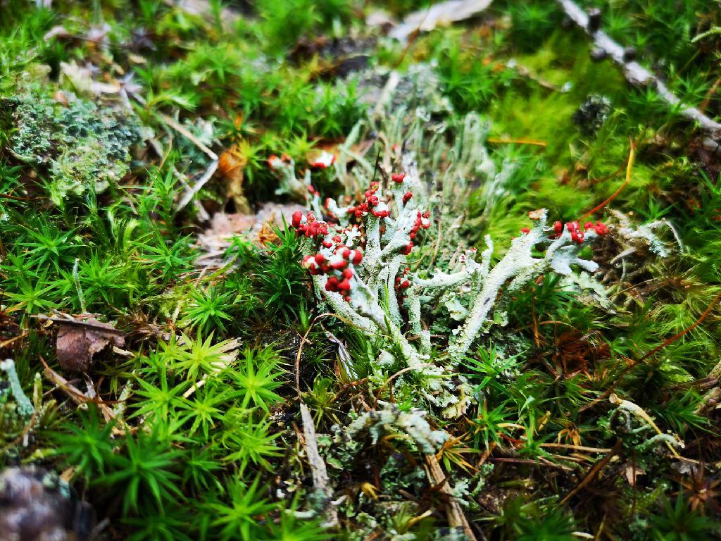 Rot blühender Moos zwischen verschiedenen Moos Arten